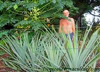"""My neighbour Henry behind his pineapples."" Article: ""How To Grow Pineapples? Growing Pineapples Is Ridiculously Easy"""