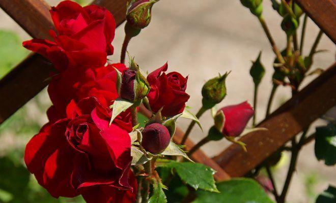 Почему не цветут плетистые розы?