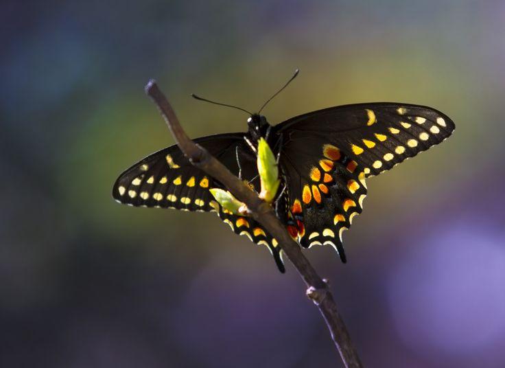 https://flic.kr/p/s49cx4 | black swallowtail