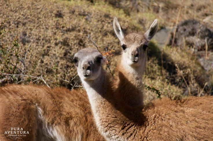 Friendly Guanacos along Chile's Southern Highway #CarreteraAustral