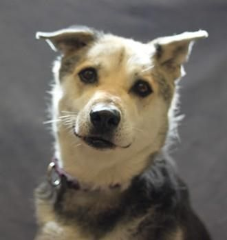 01/11/2017 LIST OF 12 ADOPTABLE DOGS Naperville Area Humane Society IL, with photos, details and videos, including Ellie (in photo) a sweet gentle senior, 12 years old, female German Shepherd mix, loves to be around people, head-shy so no small children, looking for a calm loving home, see video of her, to adopt contact (630) 420-8989.