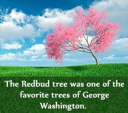 Redbud Tree Varieties | Redbud tree was George Washington's favorite