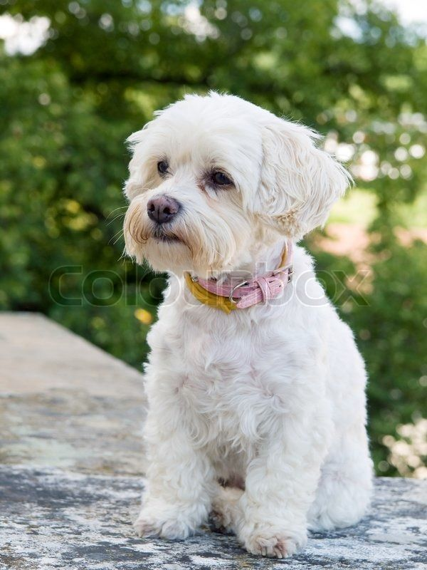 examples of havanese puppy cut - Google Search