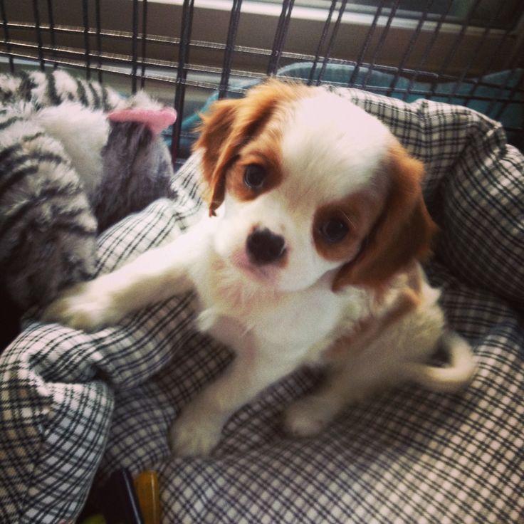 Cavalier King Charles spaniel puppy 8 weeks