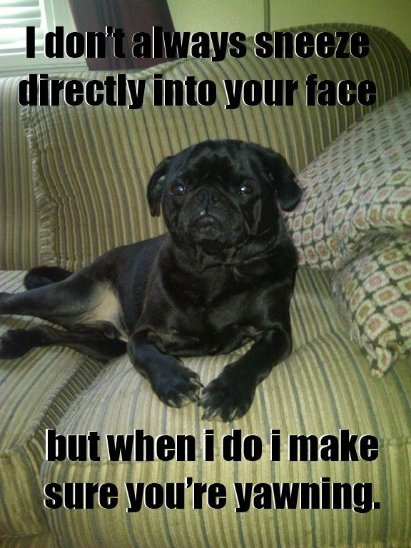 …most interesting pug in the world