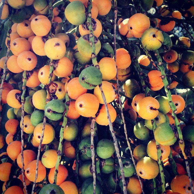 Palmtree fruits
