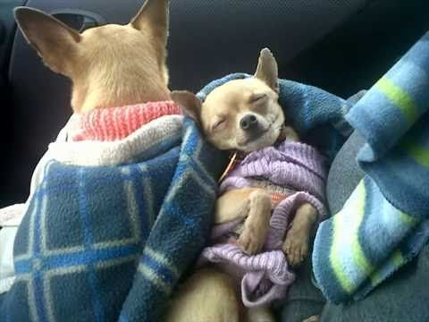 Funny animals - Too Cute Chihuahua Puppies Images
