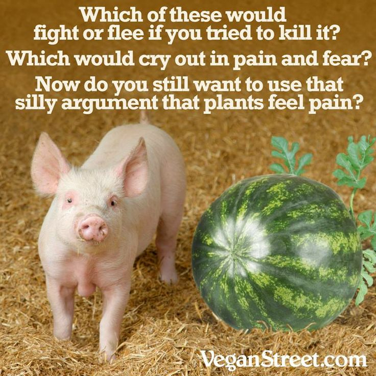 """Let's stop for a moment and think about this: really? Plants feel pain? The """"pain"""" of a watermelon being pulled from the ground is the emotional equivalent to the pain of a pig being slaughtered? This is the best argument you can come up with in your line of defense about eating animals? Hmm..."""