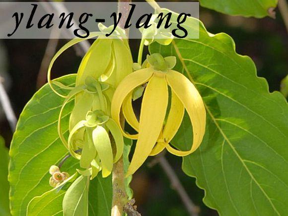 Google Image Result for http://blog.freepeople.com/wp-content/uploads/2012/07/Ylang-Ylang.jpg