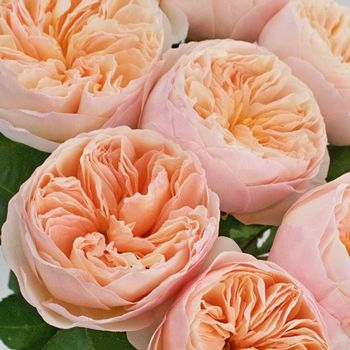 david austin peach garden rose juliet - Peach Garden Rose