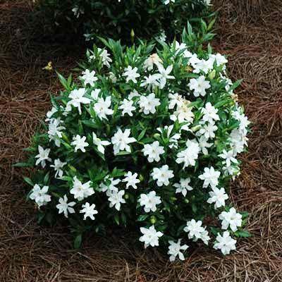 Best 25 gardenia bush ideas on pinterest gardenias for Small flowering shrubs for full sun