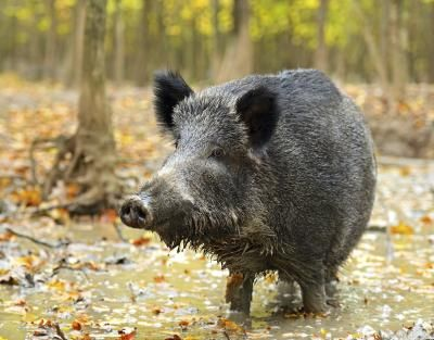 25 Best Ideas About Hog Hunting On Pinterest Pig