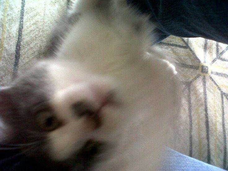 Hank trying to claw ma damn phone! #naughty #shitbag #haha #lol #justforlaughs #giggles #kittens #kitty #kittycat #fatcat #coolcat