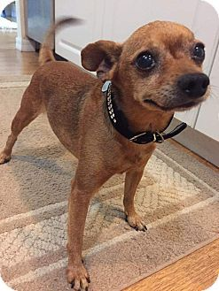 *Special Needs** Miniature Pinscher Mix Dog for adoption in Venice, Florida - Prince