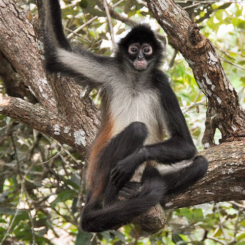 The Secret To Seeing All Four Monkey Species In Costa Rica