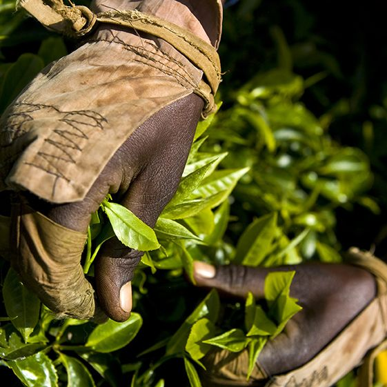 63 best images about kenya tea plantations on pinterest
