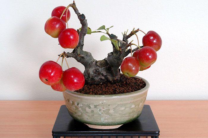 ヒメリンゴF(ひめりんご・姫林檎)実もの盆栽の販売と育て方・作り方・Malus prunifolia bonsai - http://www.e-bonsai.org/photo_Folder/mi_Folder/himeringo_Folder/himeringoF_Folder/himeringoF.html