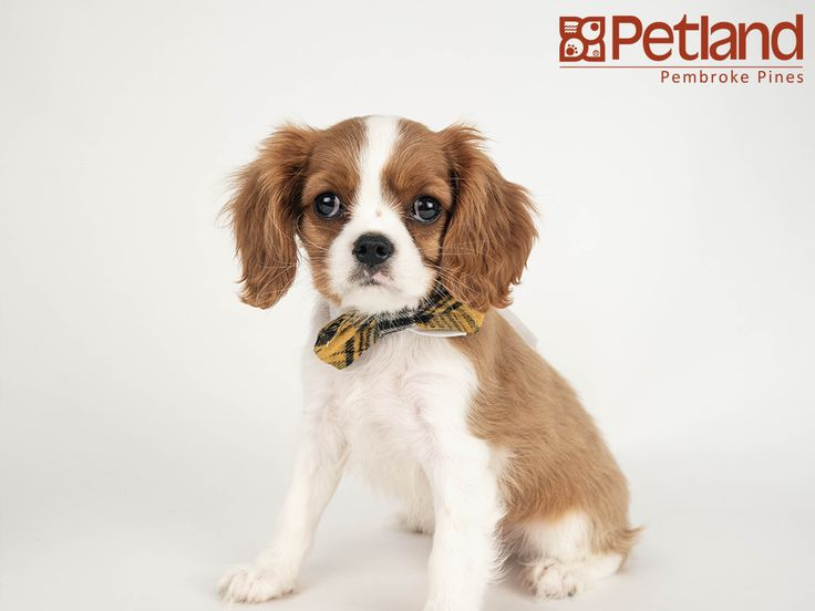 Petland florida has cavalier king charles spaniel puppies