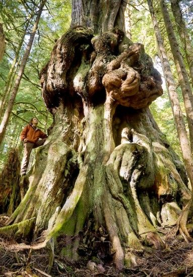 Canada's Gnarliest Tree, Avatar Grove near Port Renfrew, Vancouver Island —…