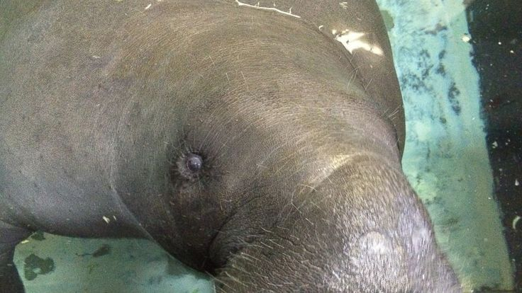 "Snooty, the longest living manatee in captivity, died Sunday, a day after a huge party to celebrate his 69th birthday, according to the South Florida Museum.  ""Snooty was found in an underwater area only used to access plumbing for the exhibit life support system. Early indications are... - #Captivity, #Dies, #Florida, #Manatee, #Oldest, #Snooty, #TopStories"