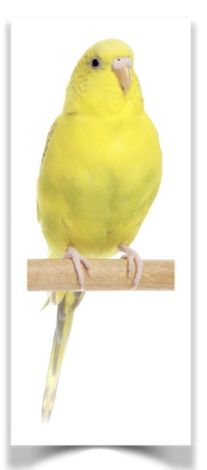 Budgies, formally the budgerigar (Melopsittacus undulatus) are popular pets around the world due to their small size, low cost, and ability to mimic human speech. The origin of the budgerigar's name is unclear. The species was first recorded in 1805, and today is the third most popular pet in the world, after the domesticated dog and cat.