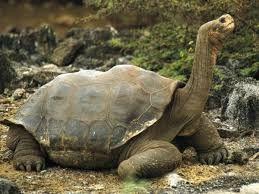 Resultado de imagen para que comen las tortugas de tierra.