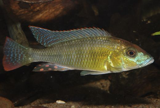 Thoracochromis buysi