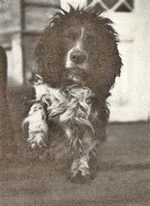 Joy was the beloved pet of the Romanov family. Joy was reported to have been found wandering around the yard of the house where the Romanovs were murdered. It is said he was rescued & taken away to England, by a member of the British Expeditionary Force, a Colonel Pavel Rodzianko.