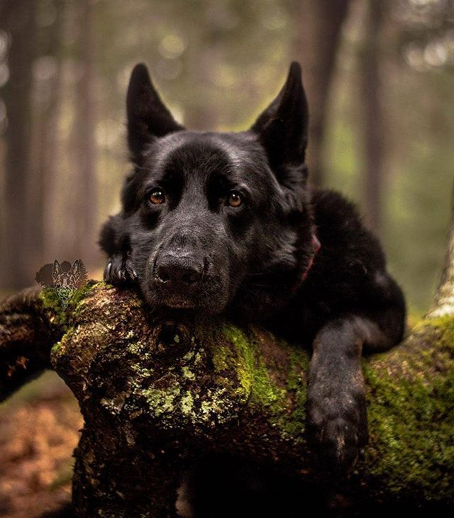 Good Cost-Free dogs and puppies black Thoughts Perform you cherish the dog?  Needless to …   German shepherd dogs, German shepherd puppies, Black german  shepherd dog
