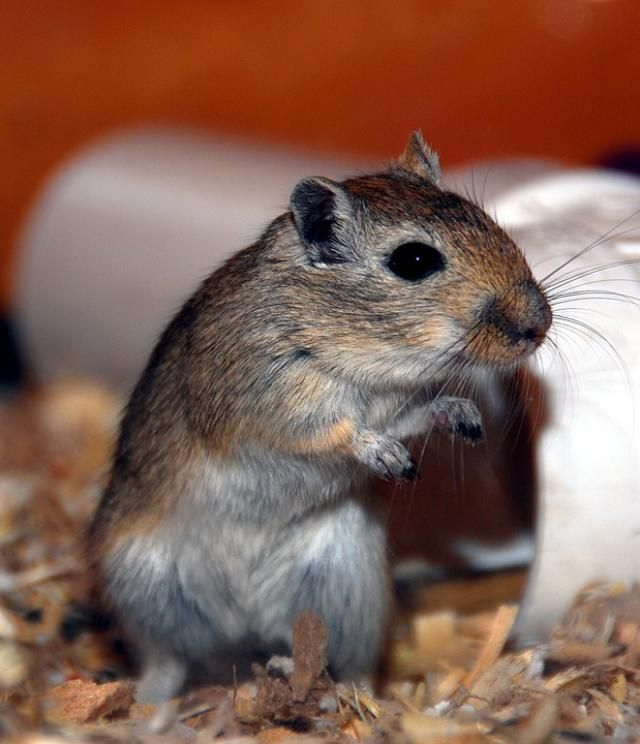 Get tips on how to pick a good selection of gerbil toys, hides, and chews will help keep your pet healthy and happy.