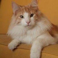 #dogalize Gatti a pelo lungo, tutte le caratteristiche e le razze #dogs #cats #pets