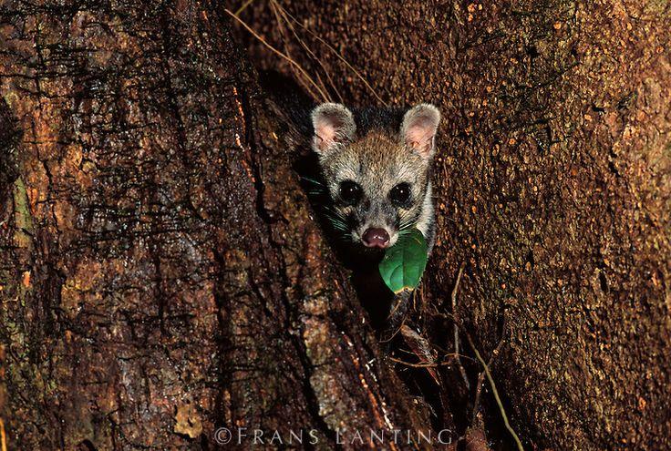 Rainforest Carnivores Animals | Frans lanting, Danum ...