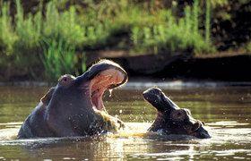 Volunteer World International @ Kariega - hippos sharing a joke on one of our great sunny days here at Kariega Game Reserve