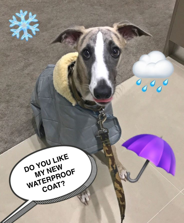 New waterproof coat ☔️ #whippet #puppy #dogs