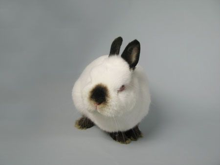 This is a breed Netherland Dwarf yes they come in marking like a Himalayan.  It is not cross breed or mixes.