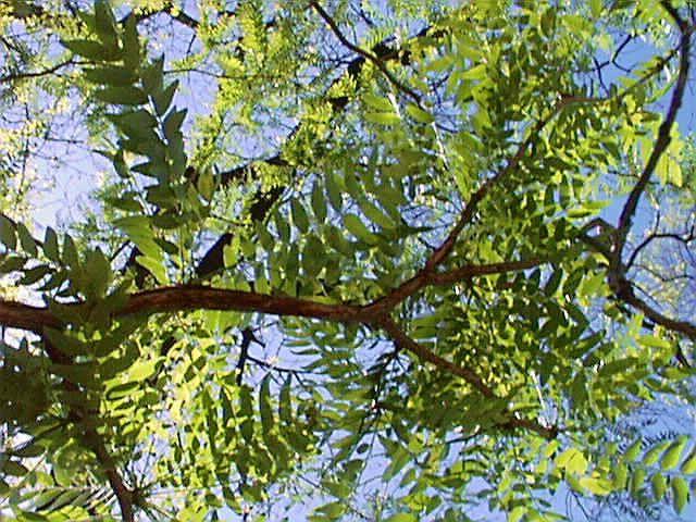 honey locust tree identification images