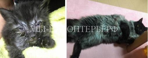 Спасенный с обочины дороги котенок через год превратился в красавца с серебристой шубкой  http://xn----dtbjxcjfbus6gj.xn--p1ai/animal-protection/animal-resque/%d1%81%d0%bf%d0%b0%d1%81%d0%b5%d0%bd%d0%bd%d1%8b%d0%b9-%d1%81-%d0%be%d0%b1%d0%be%d1%87%d0%b8%d0%bd%d1%8b-%d0%b4%d0%be%d1%80%d0%be%d0%b3%d0%b8-%d0%ba%d0%be%d1%82%d0%b5%d0%bd%d0%be%d0%ba-%d1%87%d0%b5/ Ровно год назад, вдождл