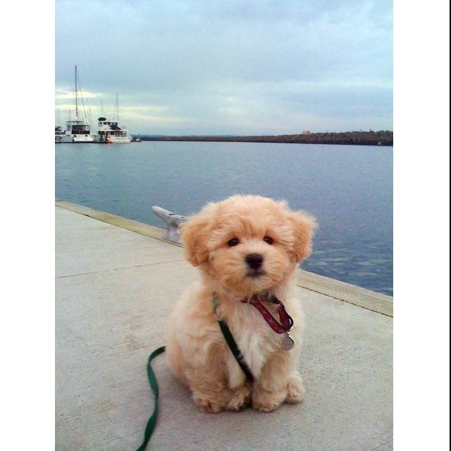 Groovy 1000 Images About Maltipoo Shih Tzu Shichon On Pinterest Short Hairstyles For Black Women Fulllsitofus