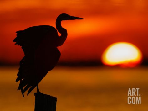 Silhouette of Great Blue Heron Stretching Wings at Sunset, Fort De Soto Park, St. Petersburg Photographic Print by Arthur Morris. at Art.com