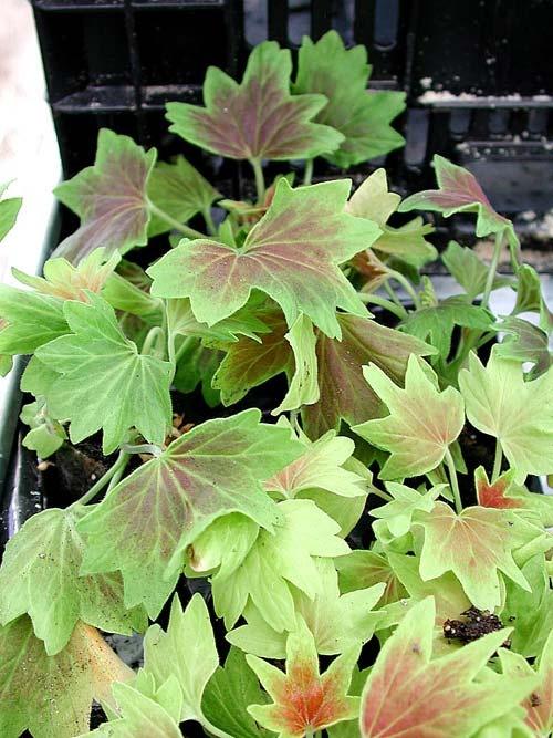 pelargonium-lotusland.jpg 500×667 bildpunkter