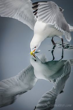 gull...great reflection