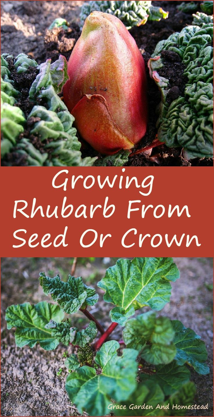 How to plant rhubarb in the fall - How To Grow Rhubarb Two Different Ways