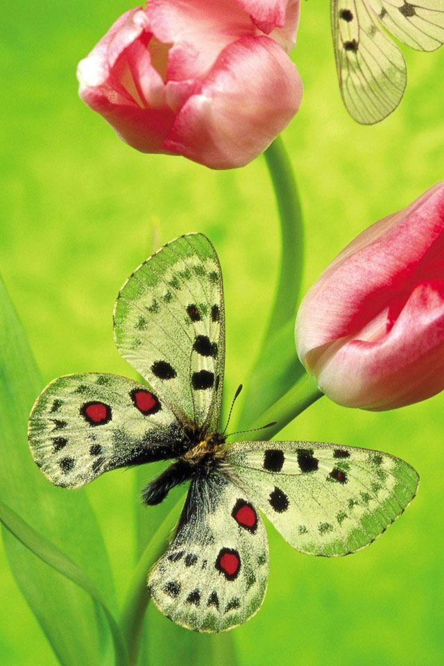.: Beautiful Butterflies, Awesome Pics, Green Butterflies, Butterflies Wallpapers, Tulip, Beautiful Flowers, Flowers Pictures, Pics Create, Desktop Wallpapers