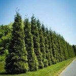 Thuja Green Giant Arborvitaes Row