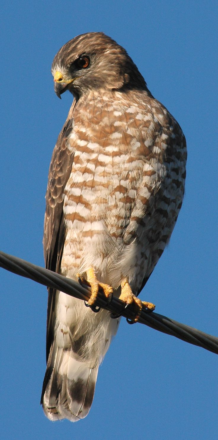 Broad-winged Hawk | Broad-winged Hawk