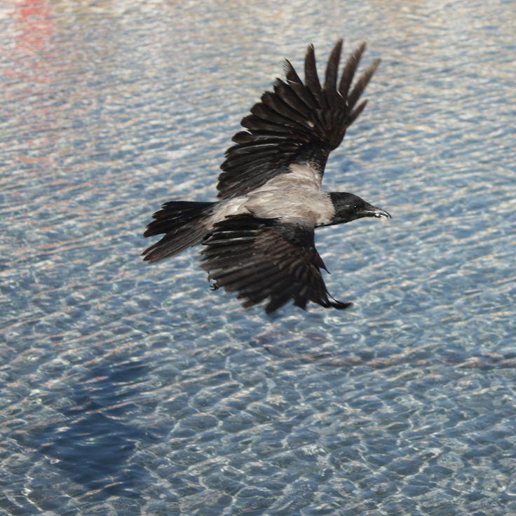 Hawaiian Crow Flying