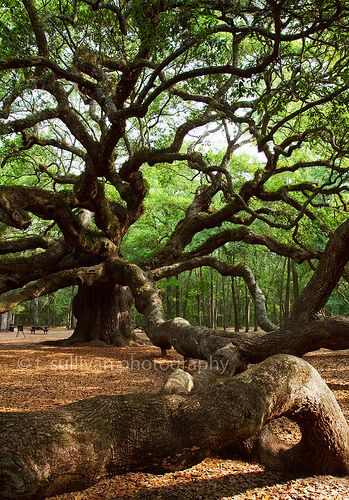 This is the Angel Oak Tree,  in Charlston, an enormous live oak tree named after it's previous owners Martha and Justin Angel. The tree is thought to be over 1500 years old. Much like the Grand Canyon, photos can't really convey the size of this enormous tree.  A person standing in front of the tree would stand about halfway up the trunk. The Angel Oak is 65 feet tall and over 25 feet around the trunk...