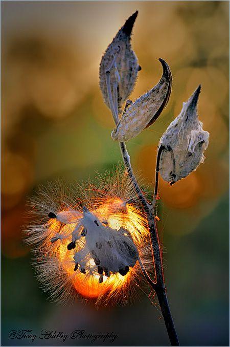 Late Fall Milkweed - late...: Photo by Photographer Tony Hadley