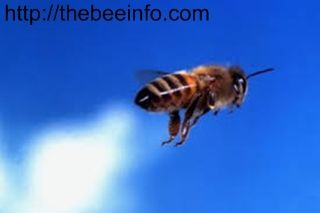 21 Amazing Honey Bee Facts! Its Scientific Name, History, Benefits Of Honey And Many More.