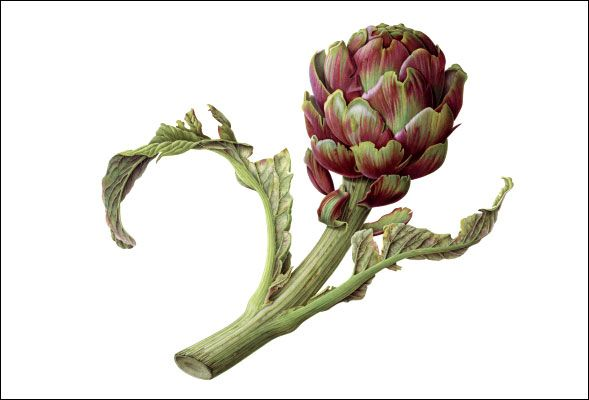 """Artichoke by Susannah Blaxill  """"The artichoke was regarded as an aristocrat of the Italian Renaissance kitchen. During this period it was much prized and enjoyed, even being considered to have aphrodisiac properties...""""  Susannah is a modern Australian artist specializing in botanical watercolors and pencil drawings.  Her life and work are featured on www.blaxill.com"""
